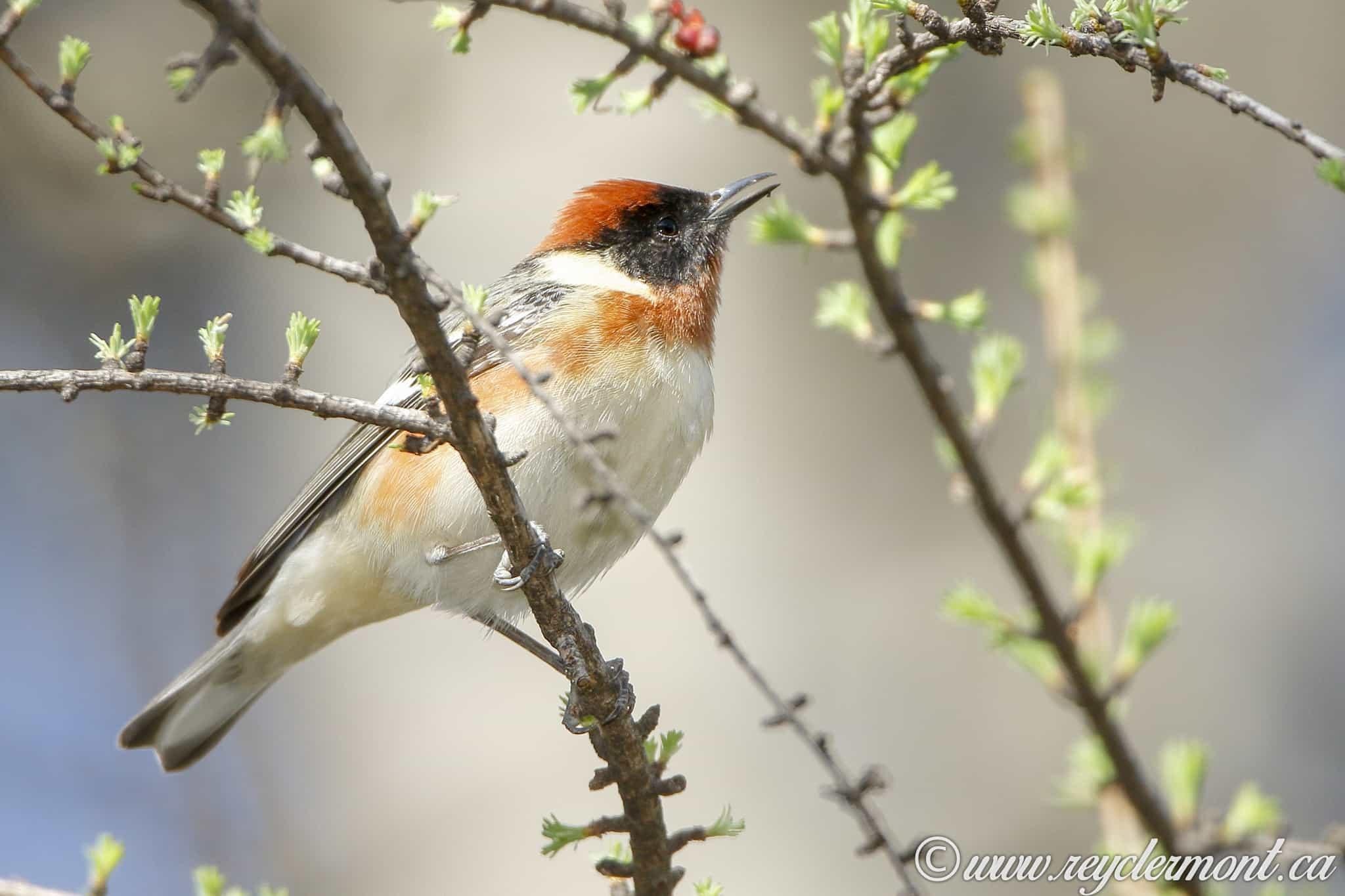 Paruline à Poitrine Baie mâle