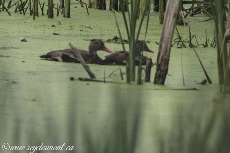 Dendrocygne à Ventre Noir, Parc-Nature de la Pointe-aux-Prairies, Secteur des Marais, Montéal