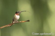 Colibri à Gorge Rubis Mâle