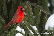 Cardinal Rouge Male-15-8065