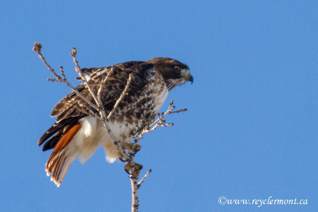 Mission Harfang des Neiges et Oiseaux de Proie