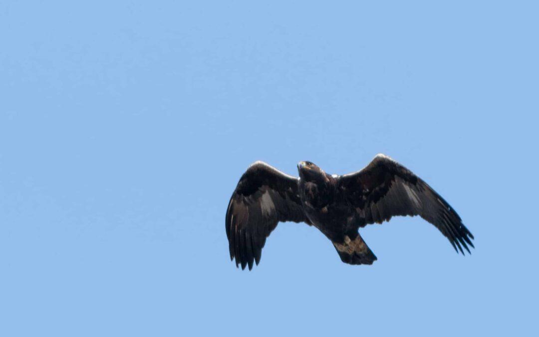 La migration printanière de l'aigle royal, où et quand ?